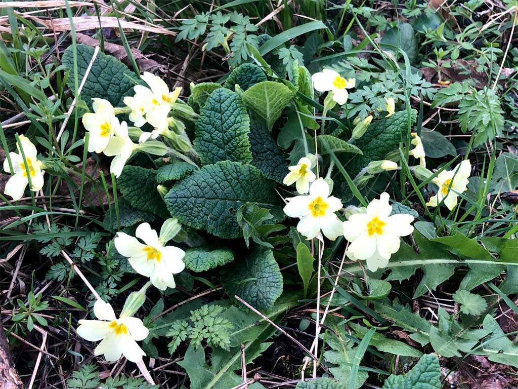 april showers bring may flowers primula