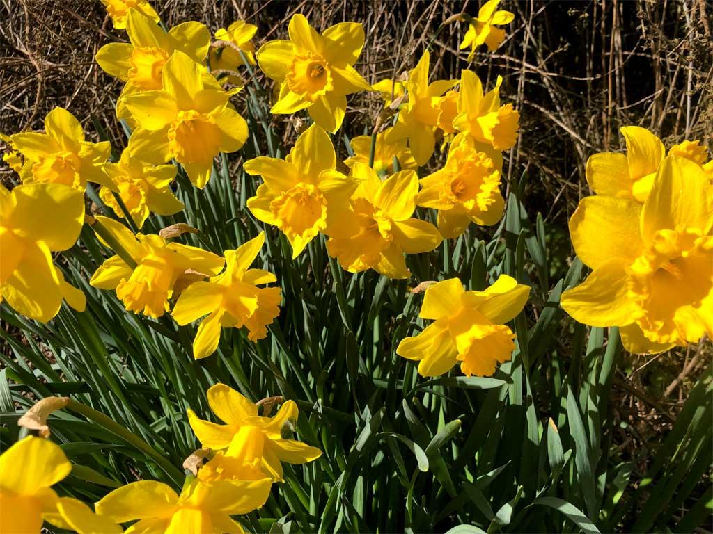 spring fresh daffodils